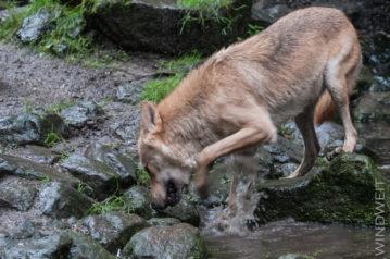 Der Wolf grub nach Algen im Wasser