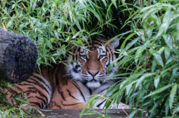 Tiger - noch einsam