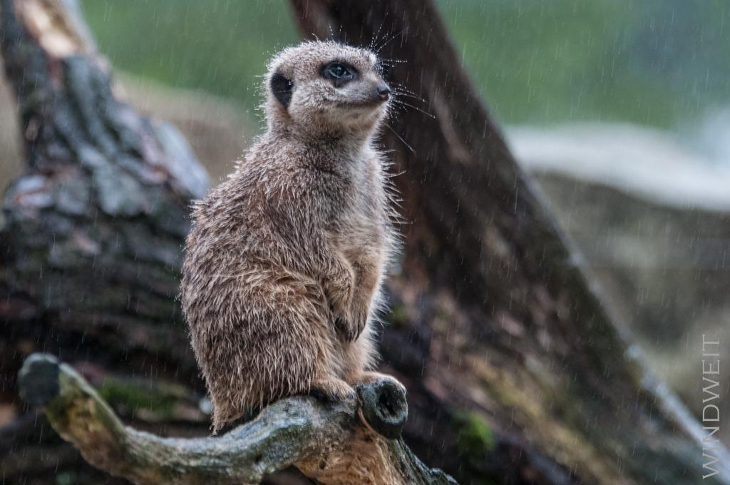 Erdmännchen im Regen