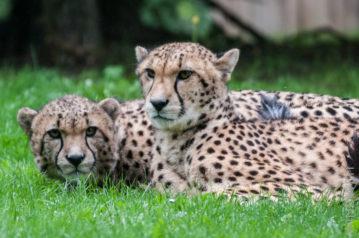 Gepardengeschwister I