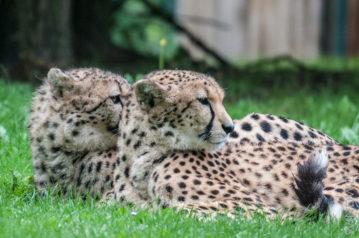 Gepardengeschwister II