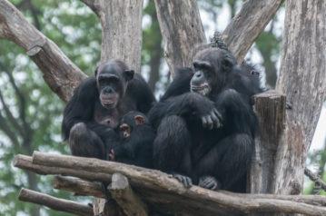 Schimpansen draußen