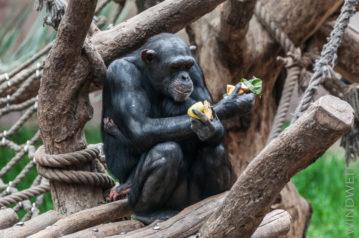 Bonobofrau ...
